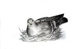 Protective Pigeon