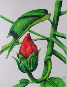 Budding Hibiscus
