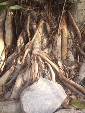 Banyan Tree Roots