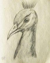 peacock sketch