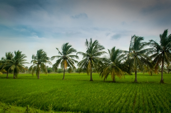 Paddy Fields and Palm Trees
