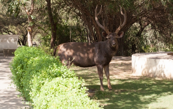 sambar_deer_first_look