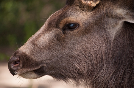sambar_deer_up_close