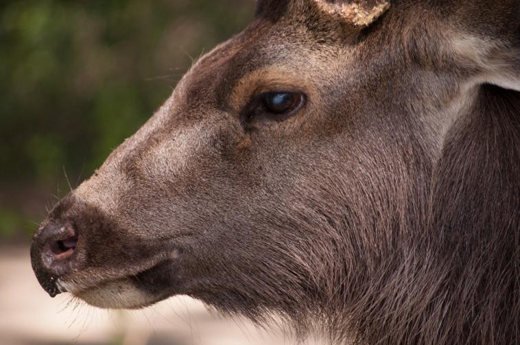 sambar_deer_up_close
