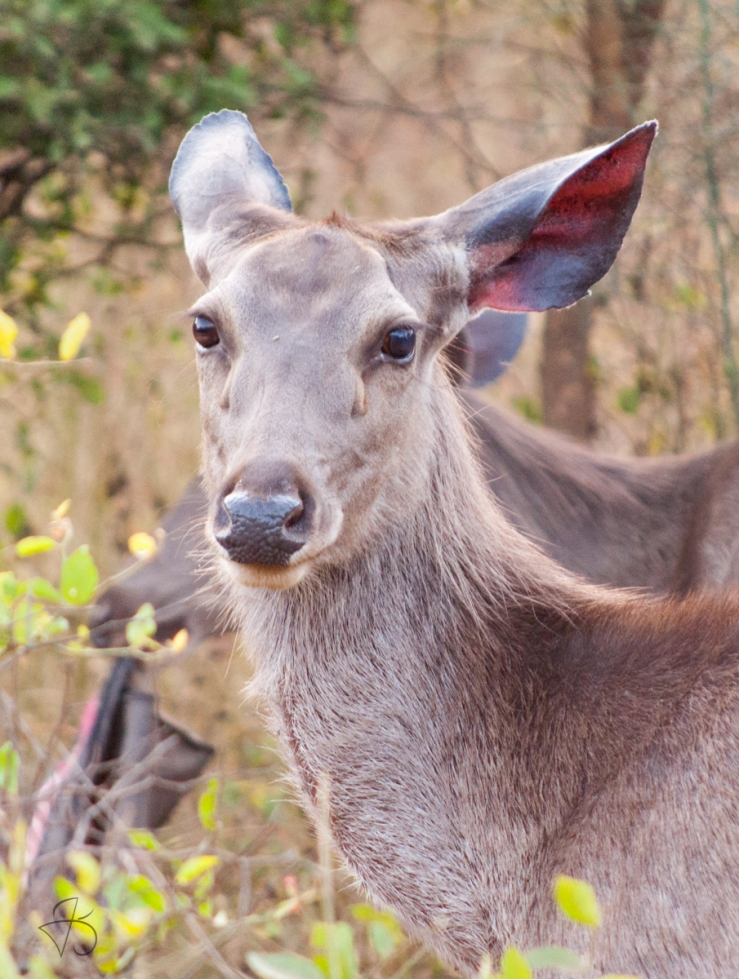 Doe, a deer. A female deer
