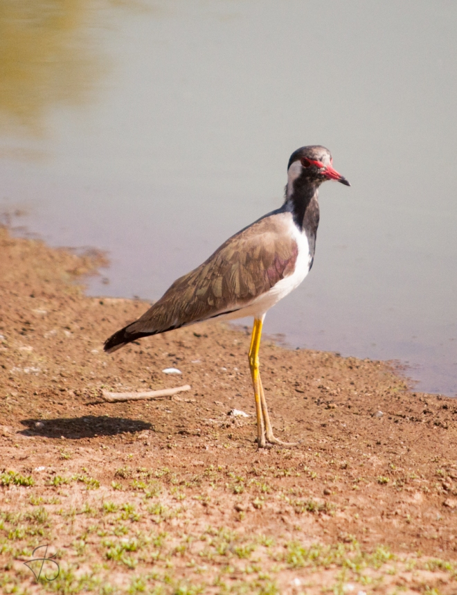 red_wattled_lapwing